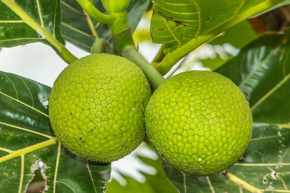 Breadfruit heath benefits